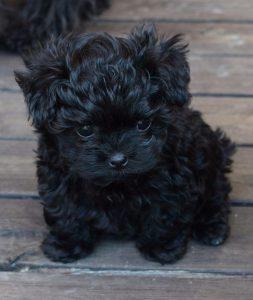 voksen maltese hund